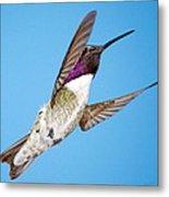 Costa's Hummingbird In Flight Metal Print