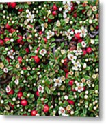 Cotoneaster Bush Background Metal Print
