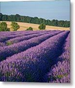 Cotswolds Lavender Metal Print