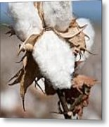 Cotton Bolls  Metal Print