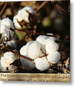 Cotton Bolls Ready For Harvest Metal Print