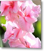 Cotton Candy Gladiolus Metal Print