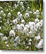 Cotton Grass On Homestead Trail In Homer-ak- Metal Print
