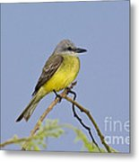 Couchs Kingbird Metal Print