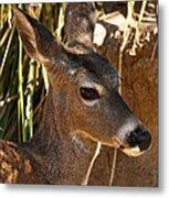 Coues White-tailed Deer - Sonora Desert Museum - Arizona Metal Print