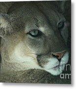 Cougar-7688 Metal Print