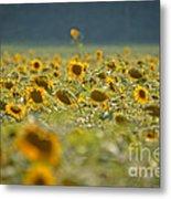 Country Sunflowers Metal Print