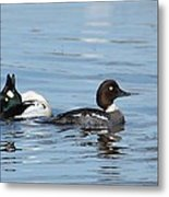 Courting Common Golden Eyes Metal Print