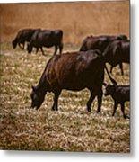 Cow And Calf Grazing Metal Print