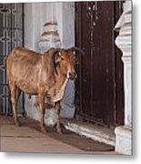 Cow At Church At Colva Metal Print
