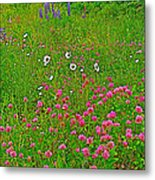 Cow Clover And Ox-eye Daisies On Campobello I Metal Print