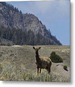 Cow Elk   #9488 Metal Print