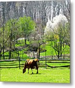 Cow Grazing In Pasture In Spring Metal Print