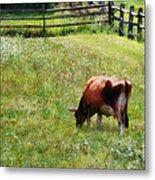Cow Grazing In Pasture Metal Print