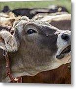 Cow In Heiterwang Metal Print