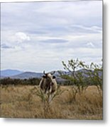 Cow In Pasture Metal Print