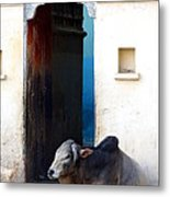 Cow In Temple Udaipur Rajasthan India Metal Print