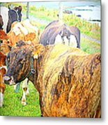 Cows Are Also Having Their Meetings  Metal Print