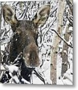 Cow Moose Among Snow Covered Trees In Metal Print