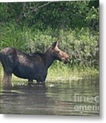 Cow Moose Breakfast Metal Print