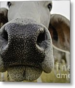 Cow Nose Metal Print by Cindy Bryant