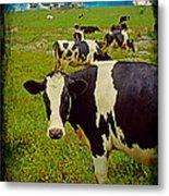 Cow On Farm Version - 2 Metal Print