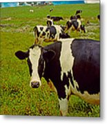 Cow On Farm Version - 5 Metal Print