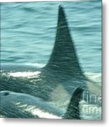 Cow Orca And Her Calf Metal Print