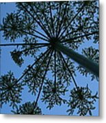 Cow Parsley Outlined Against A Summer Sky Metal Print