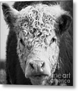 Cow Square Metal Print