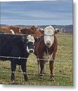 Cow Time Metal Print