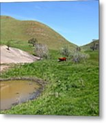 Cows Along The Rolling Hills Landscape Of The Black Diamond Mines In Antioch California 5d22304 Metal Print