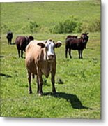 Cows Along The Rolling Hills Landscape Of The Black Diamond Mines In Antioch California 5d22341 Metal Print by Wingsdomain Art and Photography