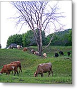 Cows In Rolling Hills Metal Print