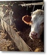 Cows Looking Out Of A Barn Metal Print