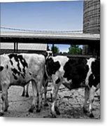 Cows Peek A Boo Metal Print