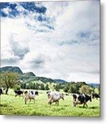 Cows Walk In Beautiful Paddock Metal Print