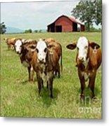 Cows8931 Metal Print