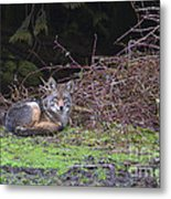 Coyote Curled Up Metal Print