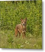 Coyote Happy Metal Print