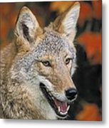 Coyote In Maple Metal Print