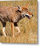 Coyote In Rocky Mountain National Park Metal Print