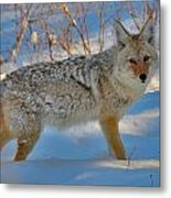 Coyote In The Blue Metal Print