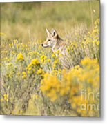Coyote In The Chamisa Metal Print