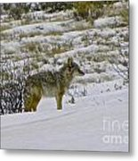 Coyote In The Snow Metal Print