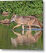 Coyote Looking For Breakfast Metal Print