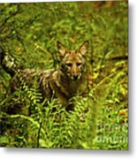 Coyote Of The Woods Metal Print