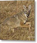Coyote Running Metal Print