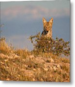 Coyote Watching Metal Print