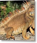 Cozumel Iguana Vacation Metal Print
